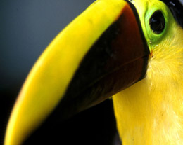 toucan-costa-rica-upclose.jpg